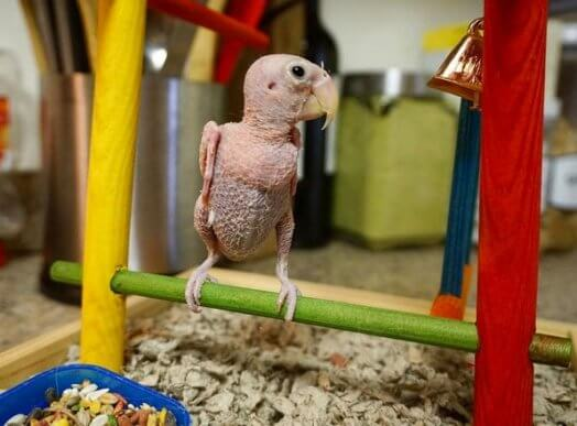Conheça Rhea, o pássaro sem penas