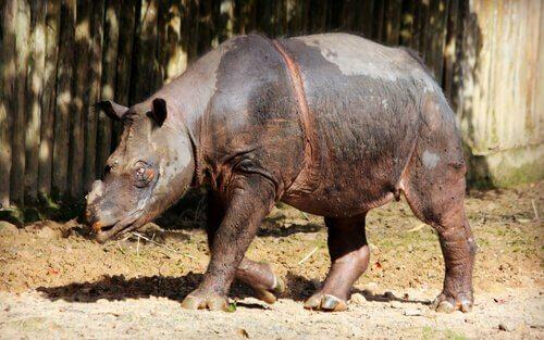 A delicada situação do rinoceronte de Sumatra