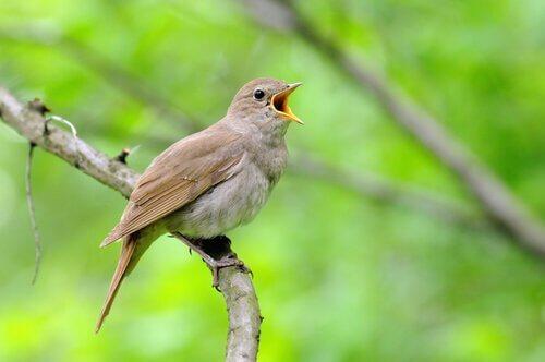 A linguagem das aves canoras