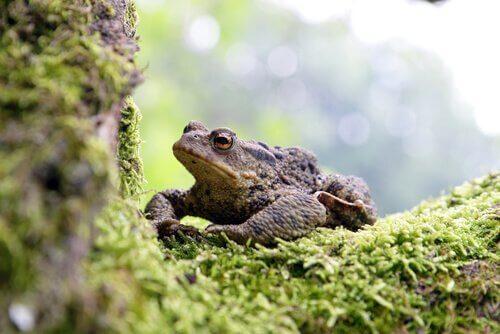 Sapo-comum: características, alimentação e habitat