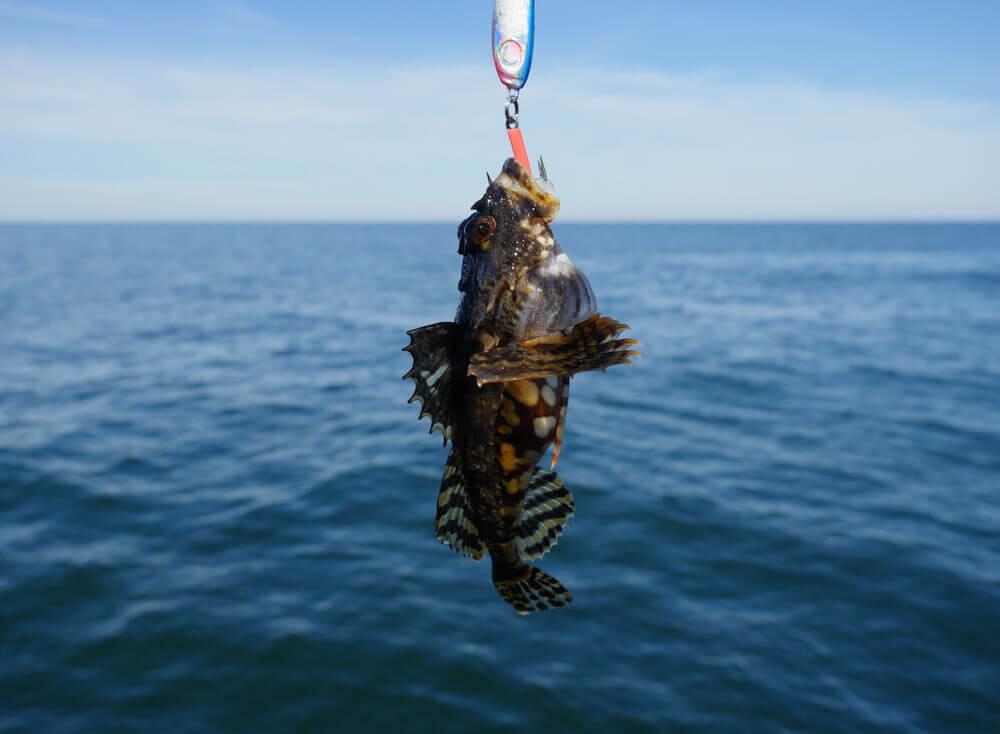 A reprodução peculiar do peixe-sapo