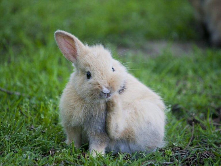 Sarna em coelhos: sintomas e tratamento