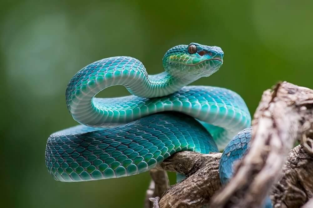 Diferenças 'técnicas' entre cobra, serpente e víbora
