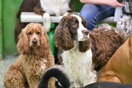 Cães da raça Springer Spaniel Inglês