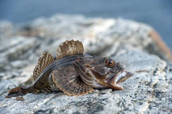 Peixe-sapo ou tamboril: taxonomia, habitat e reprodução
