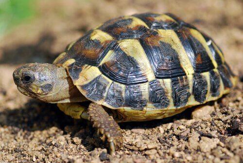 A tartaruga mediterrânea é um animal diurno