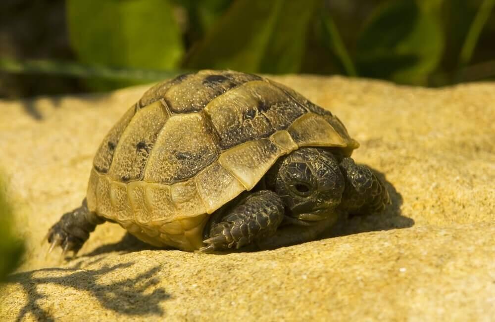 Características da tartaruga mediterrânea