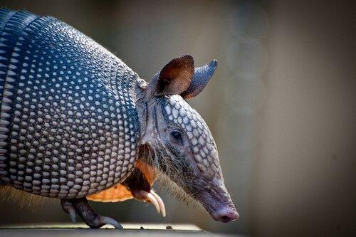 Tatu que corre risco de extinção