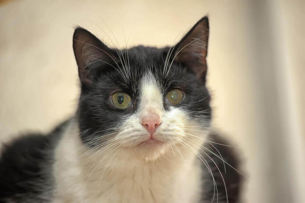 Tratamento e prevenção do glaucoma em gatos