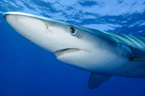 Habitat do tubarão-azul
