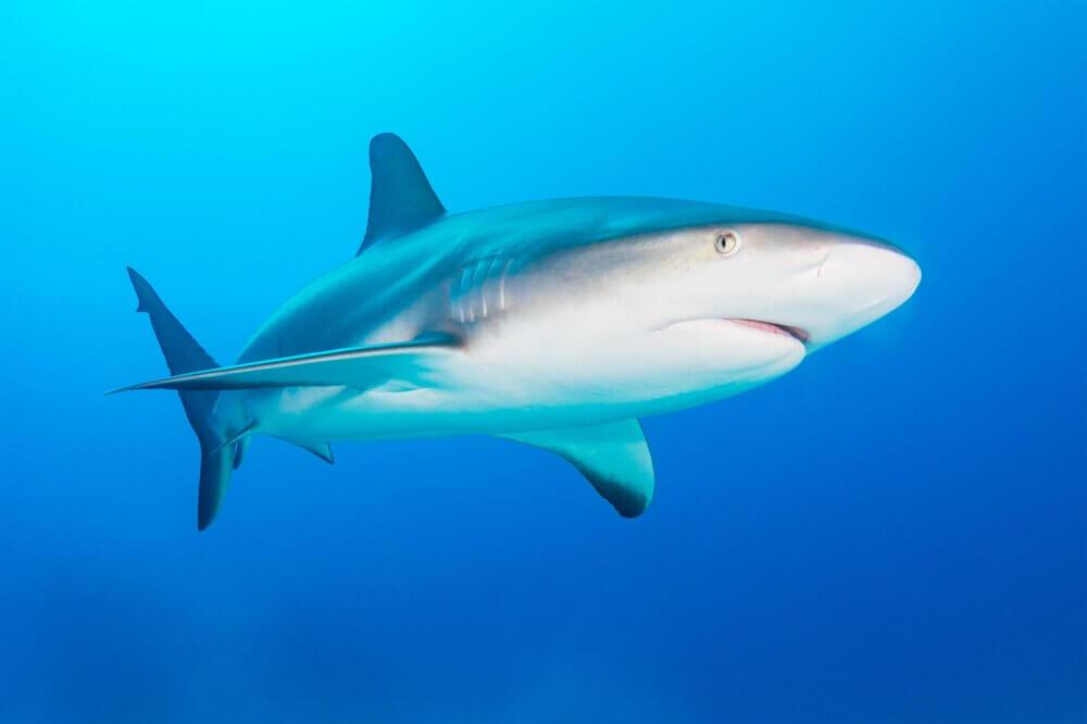 Tubarão cinzento