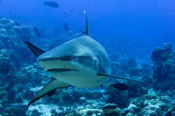 Mergulhe no fascinante mundo do tubarão cinzento