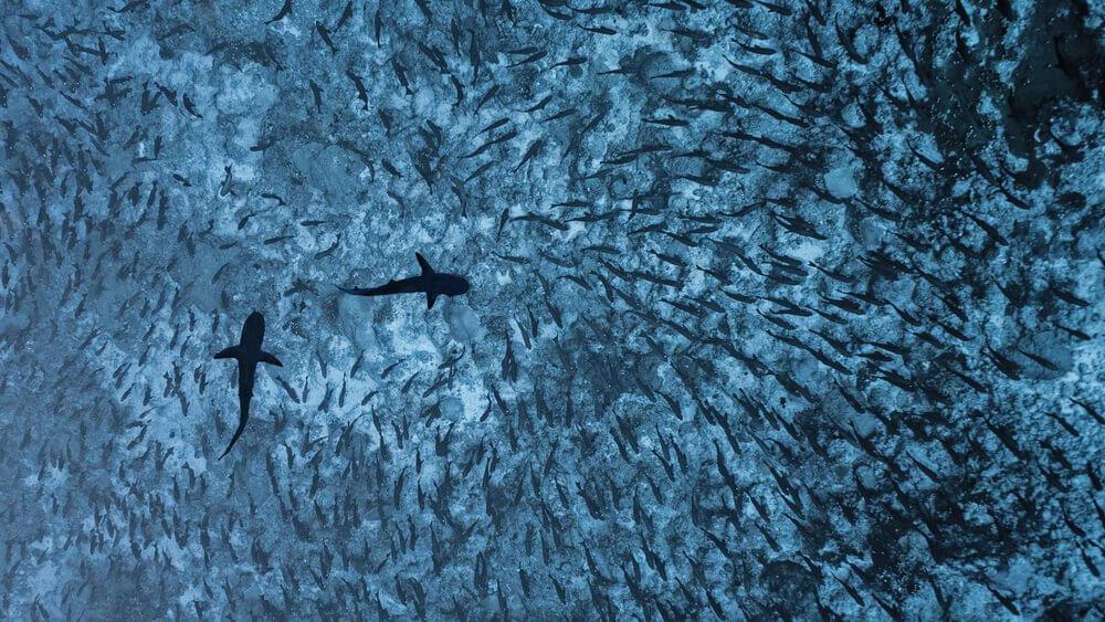Tubarões cinzentos nadando