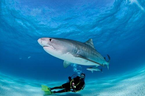 Mergulhar com tubarões