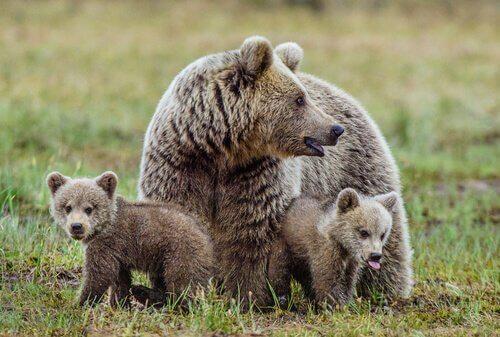 Mãe ursa com seus filhotes