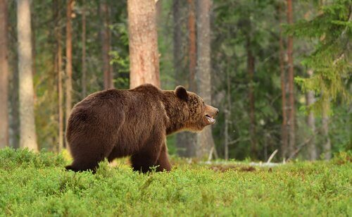 Urso-pardo na floresta
