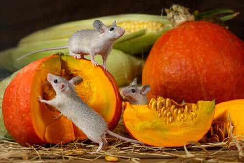 Qualquer tipo de abóbora é deliciosa para os roedores