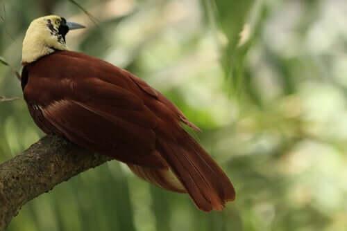 As aves do paraíso