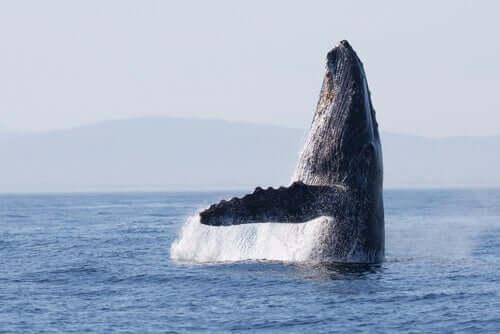 As rotas migratórias das baleias são as mesmas há 270.000 anos