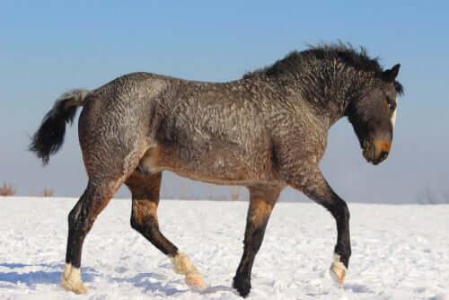 Cavalo bashkir curly na neve