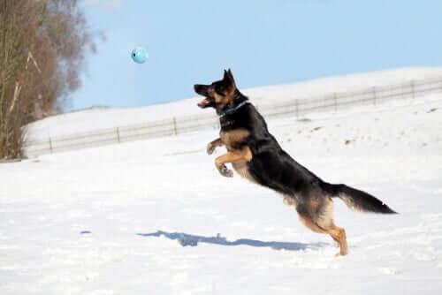 Cachorro pulando para pegar bola no ar