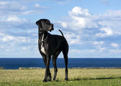 5 raças de cães grandes