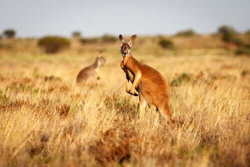 Conheça o canguru-vermelho, o rei indiscutível da Austrália
