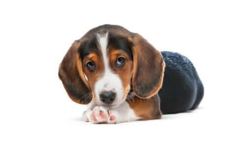 Conheça o cão basset alemão da Vestfália