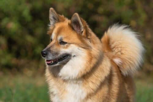 Comportamento e hábitos do cão islandês de pastoreio