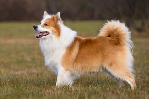 Comportamento do cão islandês de pastoreio
