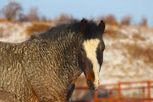 Cavalo bashkir curly: misterioso e hipoalergênico