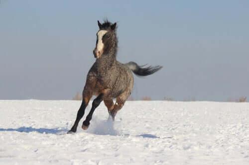 Cavalo encaracolado correndo