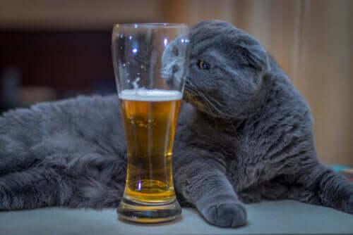 Como saber se o meu gato consumiu álcool?