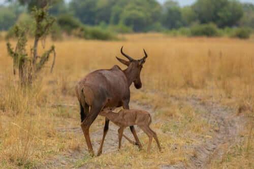 Mãe e filhote de mezanze