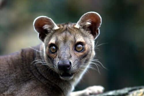Fossa de Madagascar