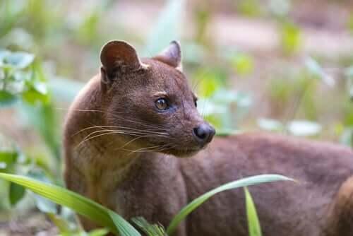 A fossa, o mais estranho predador de Madagascar
