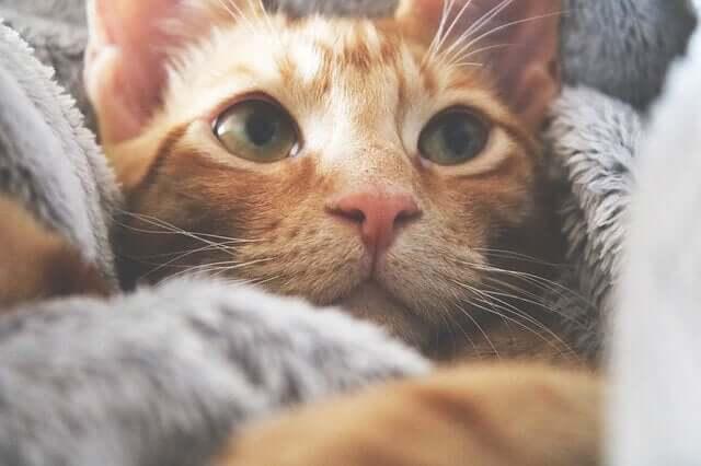 Gato com cobertores