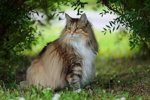 O gato norueguês da floresta, um animal pouco conhecido