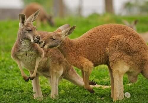 Habitat e características essenciais do canguru-vermelho