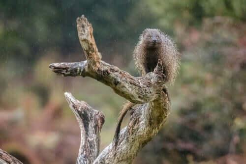 Mangusto em tronco de árvore
