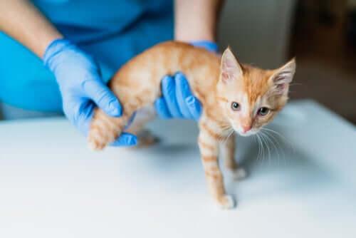 Sinais da insuficiência hepática em gatos