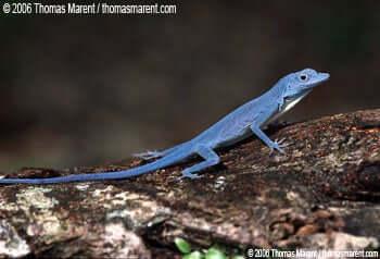 Características do lagarto azul