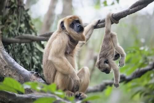 Macaca com seu filhote