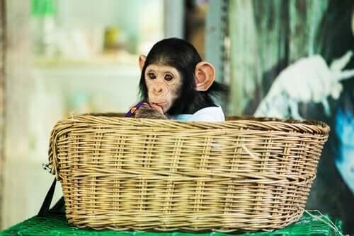 Filhote de macaco em santuário de animais