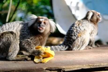 Alimentação do macaco sagui