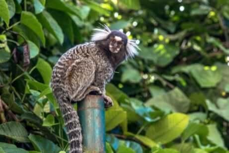Características do macaco sagui