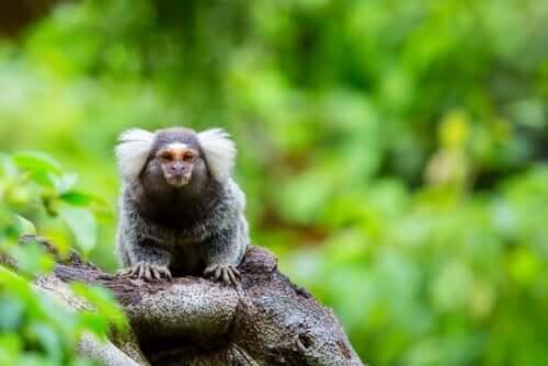Macaco sagui: características e alimentação