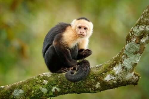 É ético usar macacos de terapia?