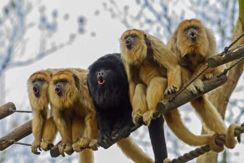 Os macacos estão ficando amarelos