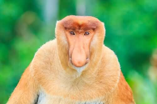 Macacos-narigudos: tudo que você precisa saber sobre eles
